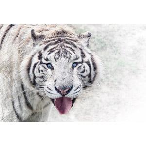 フリー写真, 動物, 哺乳類, 虎(トラ), ホワイトタイガー, 舌を出す(動物)