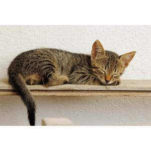 フリー写真, 動物, 哺乳類, 猫(ネコ), 子猫, 子供(動物), 寝る(動物), キジトラ猫