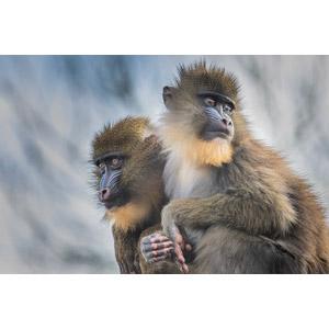 フリー写真, 動物, 哺乳類, 猿(サル), マンドリル, 子供(動物)