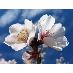 フリー写真, 植物, 花, アーモンド