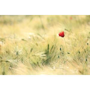 フリー写真, 植物, 穀物, 麦(ムギ), 畑, 植物, 花, ヒナゲシ(ポピー), 赤色の花