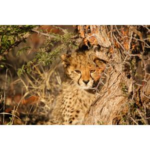 フリー写真, 動物, 哺乳類, チーター, 子供(動物)