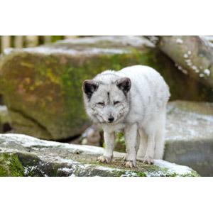 フリー写真, 動物, 哺乳類, 狐(キツネ), ホッキョクギツネ