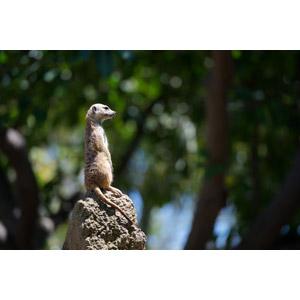フリー写真, 動物, 哺乳類, ミーアキャット