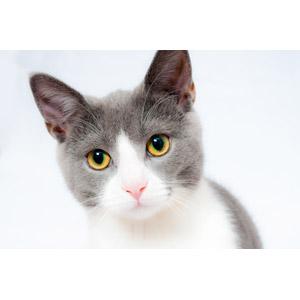 フリー写真, 動物, 哺乳類, 猫(ネコ), 灰白猫, 白背景
