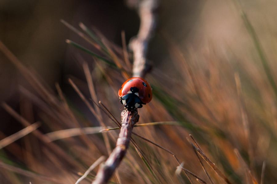 フリー写真 枝の上のてんとう虫