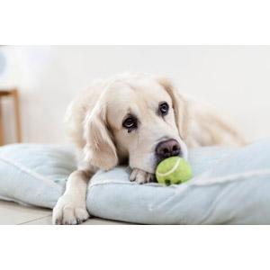 フリー写真, 動物, 哺乳類, 犬(イヌ), ゴールデン・レトリバー, テニスボール