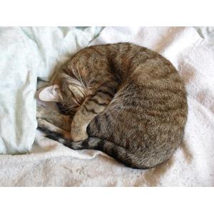 フリー写真, 動物, 哺乳類, 猫(ネコ), キジトラ猫, 寝る(動物)