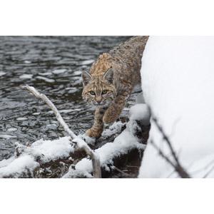フリー写真, 動物, 哺乳類, ボブキャット, 雪, 河川
