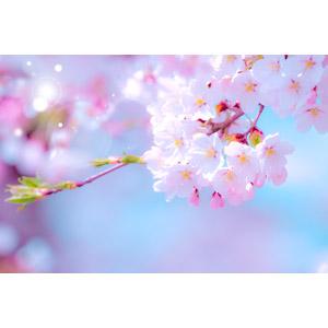フリー写真, 植物, 花, 桜(サクラ), 春, レンズフレア