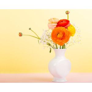 フリー写真, 植物, 花, ラナンキュラス, 花瓶