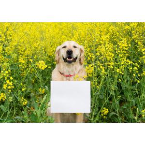 フリー写真, 動物, 哺乳類, 犬(イヌ), ゴールデン・レトリバー, メッセージボード, 花, 菜の花(アブラナ), 黄色の花