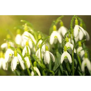 フリー写真, 植物, 花, 白色の花, 水滴(雫), スノードロップ