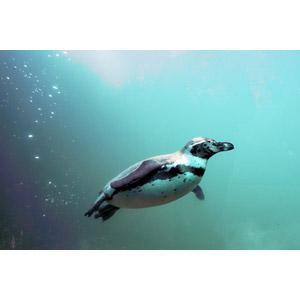 フリー写真, 動物, 鳥類, ペンギン, フンボルトペンギン, 水中, 泳ぐ(動物)