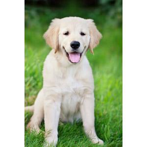フリー写真, 動物, 哺乳類, 犬(イヌ), ゴールデン・レトリバー, 子犬, 子供(動物)