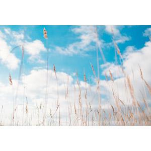 フリー写真, 風景, 植物, 雑草, 枯れ草, 草むら, 空, 雲