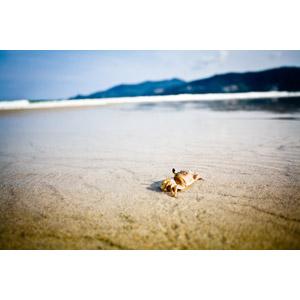 フリー写真, 風景, 自然, ビーチ(砂浜), 動物, 甲殻類, 蟹(カニ), タイの風景, プーケット