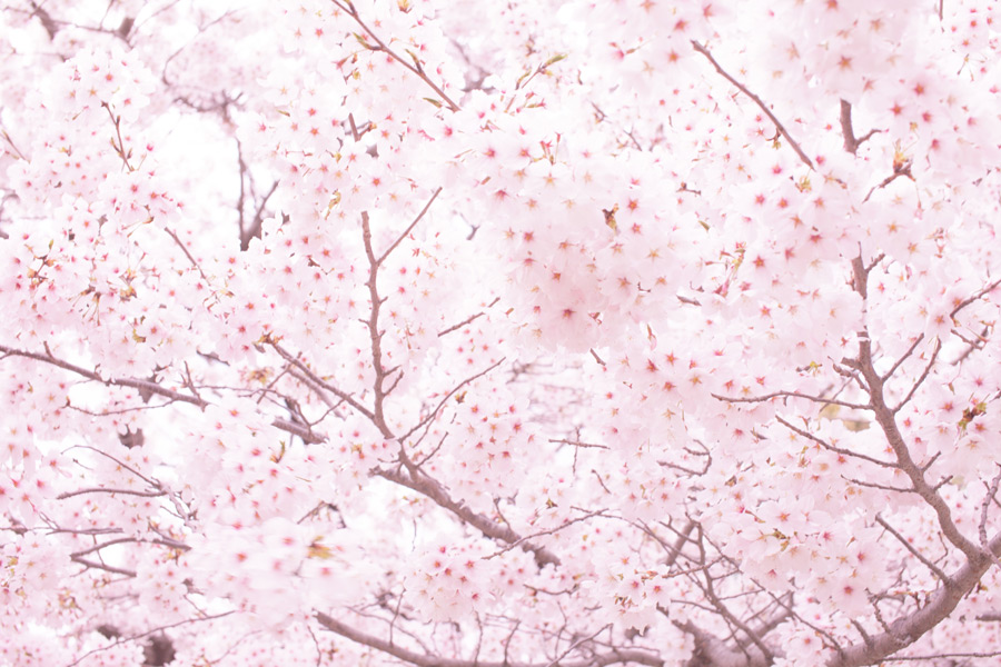 フリー写真 満開の桜の花