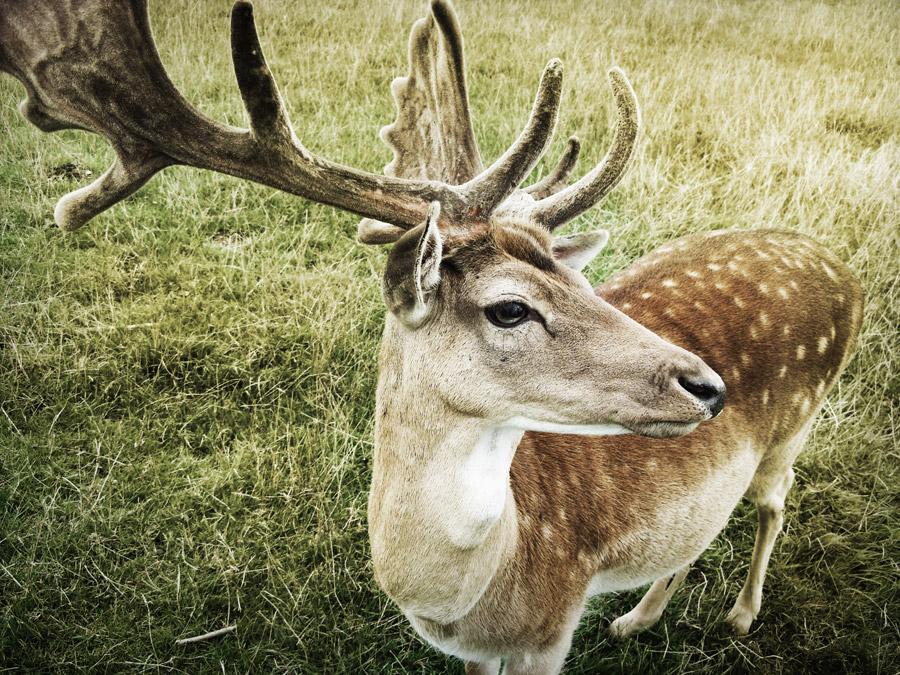 フリー写真 角の生えた鹿