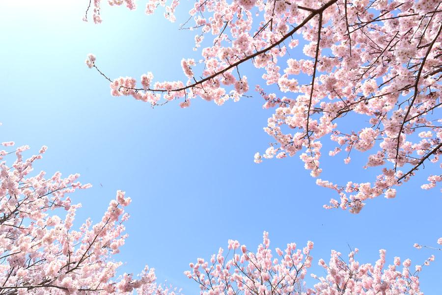 フリー写真 満開の桜の花と青空