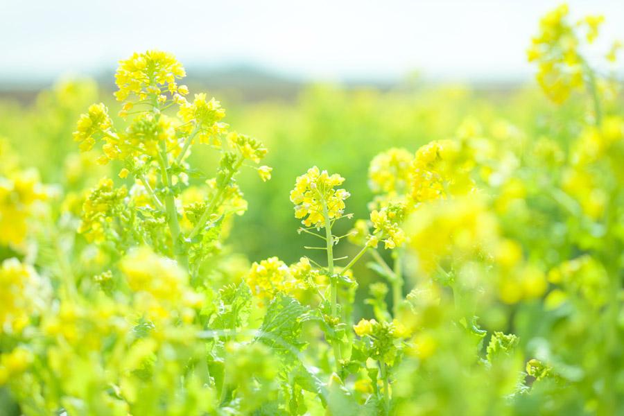 フリー写真 菜の花