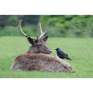 フリー写真, 動物, 哺乳類, 鹿(シカ), 鳥類, 鳥(トリ), 烏(カラス)