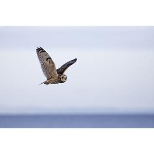 フリー写真, 動物, 鳥類, 猛禽類, 梟(フクロウ), コミミズク