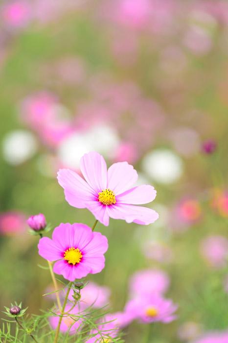フリー写真 ピンク色のコスモスの花