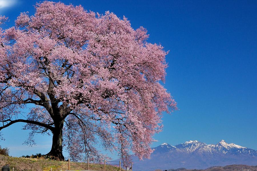 フリー写真 満開の一本桜の風景