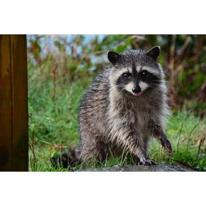フリー写真, 動物, 哺乳類, アライグマ