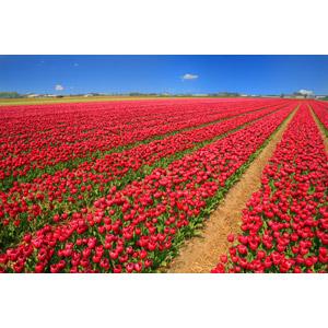 フリー写真, 植物, 花, チューリップ, 赤色の花, 花畑, オランダの風景