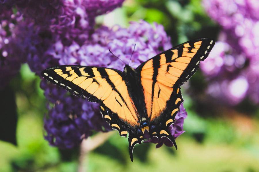 フリー写真 花に止まるアゲハ蝶