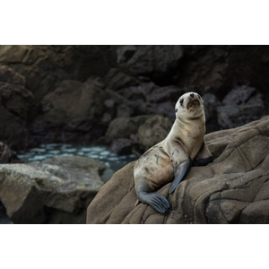 フリー写真, 動物, 哺乳類, アシカ, オットセイ, 子供(動物)