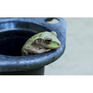 フリー写真, 動物, 両生類, 蛙(カエル)