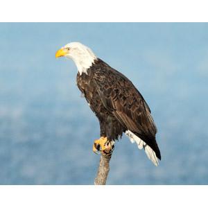 フリー写真, 動物, 鳥類, 猛禽類, 鷲(ワシ), 白頭鷲(ハクトウワシ)