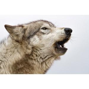 フリー写真, 動物, 哺乳類, 狼(オオカミ), 吠える
