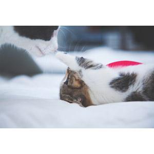 フリー写真, 動物, 哺乳類, 猫(ネコ), 子猫, 子供(動物), 親子(動物), 猫パンチ