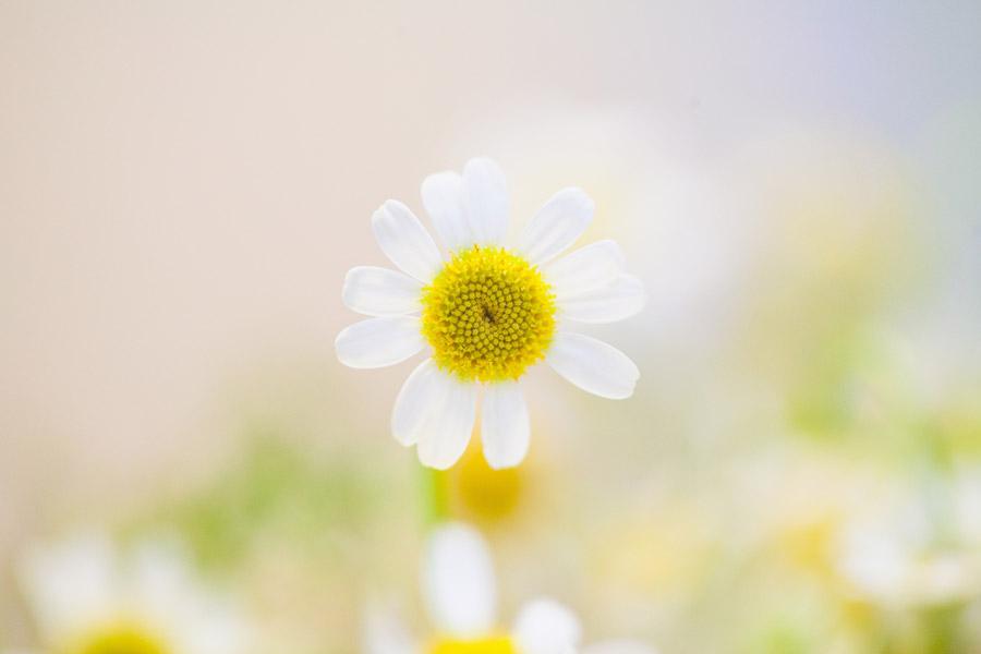 フリー写真 正面から見るカモミールの花