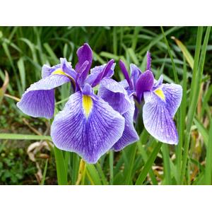 フリー写真, 植物, 花, アヤメ(ハナショウブ), 紫色の花, 年中行事, 端午(菖蒲の節句), こどもの日, 5月