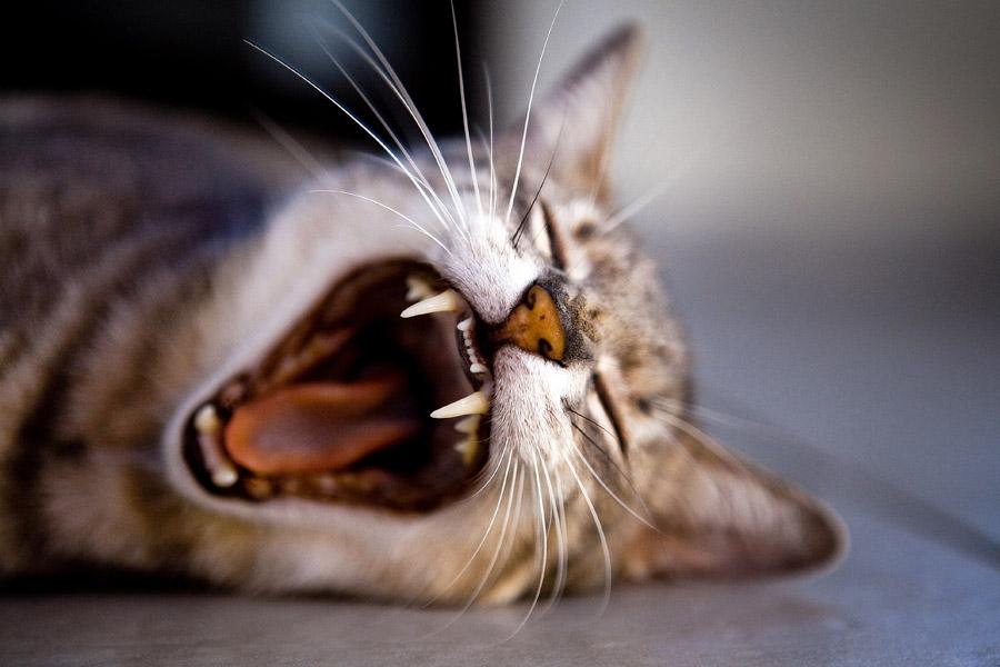 フリー写真 大あくびする猫