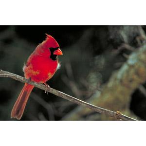 フリー写真, 動物, 鳥類, 鳥(トリ), ショウジョウコウカンチョウ