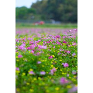フリー写真, 風景, 植物, 花, 蓮華草(レンゲソウ), 雑草, 花畑, 日本の風景, 春
