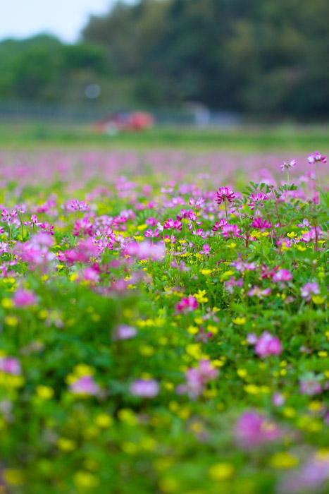フリー写真 れんげ畑の風景