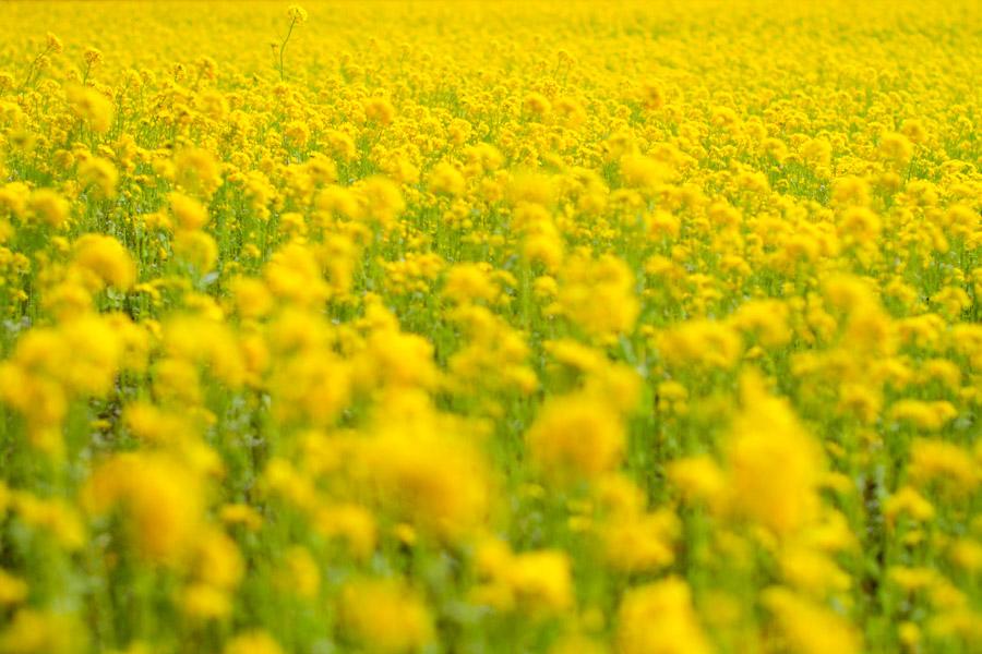 フリー写真 菜の花畑の風景