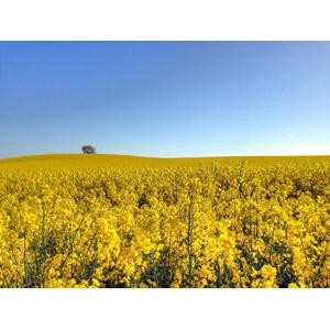 フリー写真, 風景, 畑, 植物, 花, 菜の花(アブラナ), 黄色の花, 花畑, 青空, スウェーデンの風景