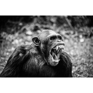 フリー写真, 動物, 哺乳類, 猿(サル), チンパンジー, モノクロ, 怒る(動物), 叫ぶ(動物), 口を開ける(動物)