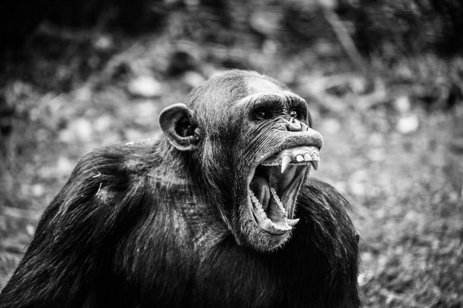 フリー写真 雄たけびを上げるチンパンジー