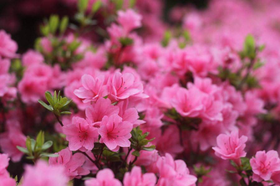 フリー写真 つつじの花