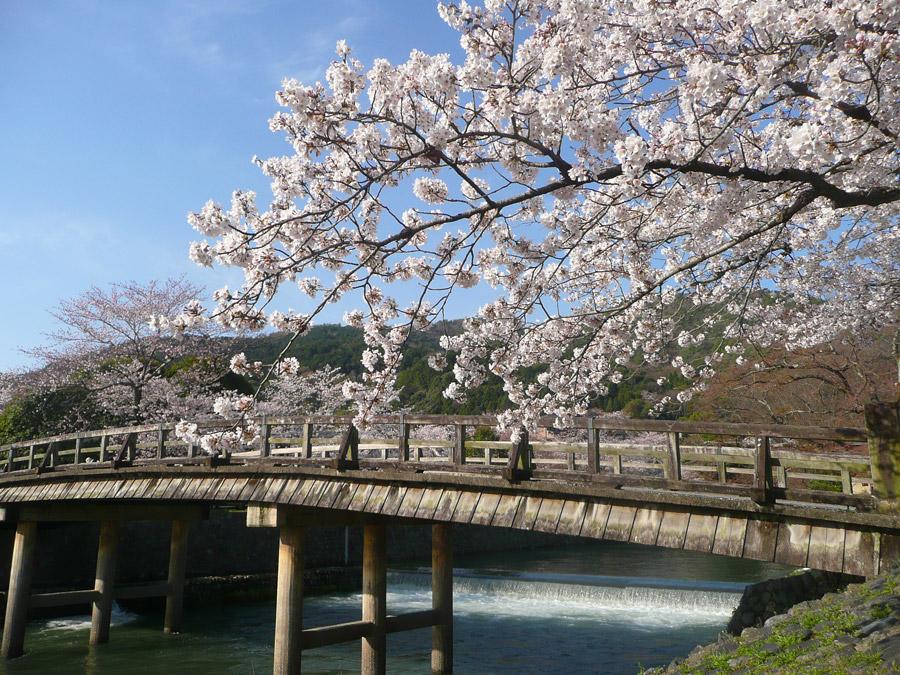 フリー写真 渡月橋と桜の花の風景
