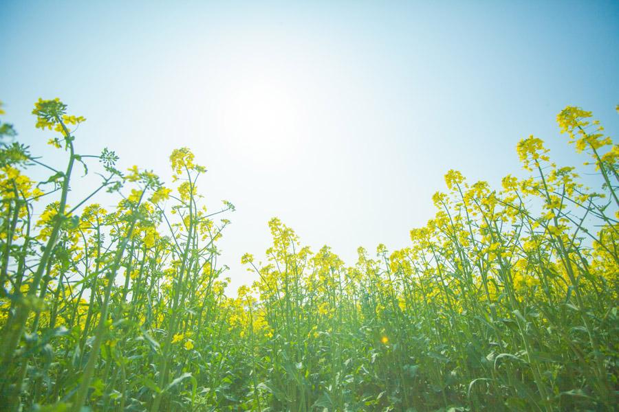 フリー写真 青空と菜の花畑の風景